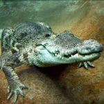 animal-photography-aligator