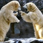 Polar bears fight at the Zoo in Prague, Czech Republic, Tuesday, Jan. 4, 2011.