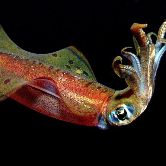 squid, Sepioteuthis lessoniana