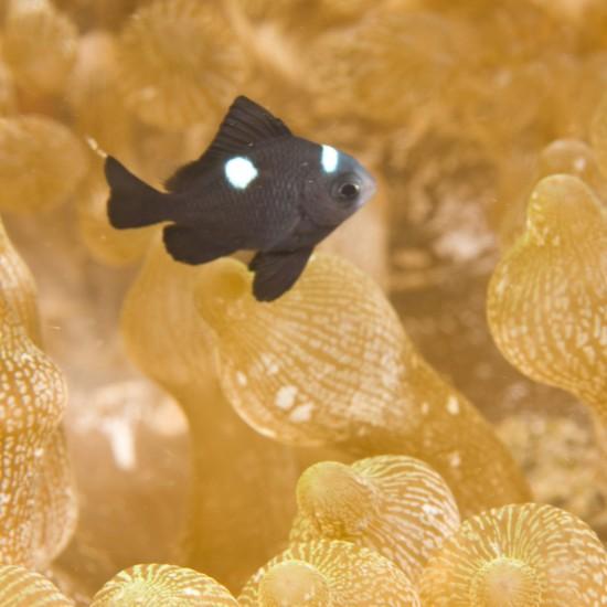 Damselfish Dascyllus sp bulb-tipped anemone Puerto Gallera Philippines SE Asia
