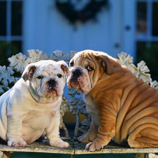 Bulldog Puppies on Garden Bench