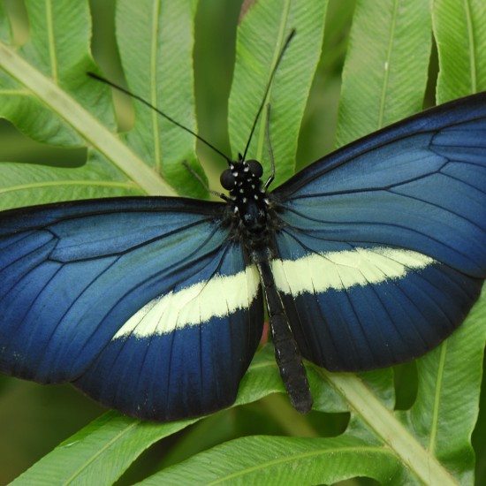"""""""Crimson-patched Longwing (Heliconius erato) butterfly, Colombia"""""""