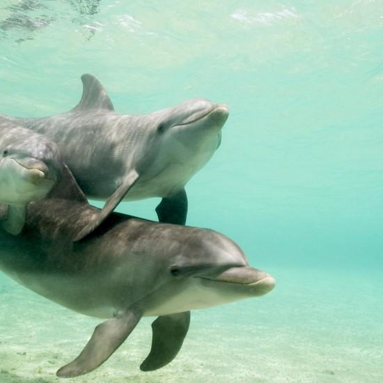 Bottlenose Dolphins Tursiops truncatus Caribbean Sea near Roatan Honduras