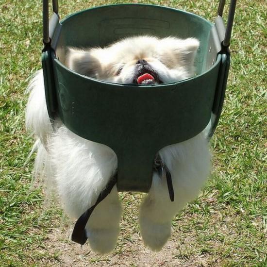 chiensbalançoire (8)