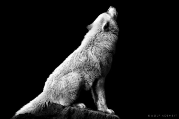 Photographies-animaux-N&B-Wolf-Ademeit (23)