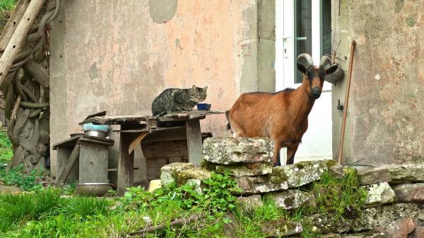 La chèvre et le chat